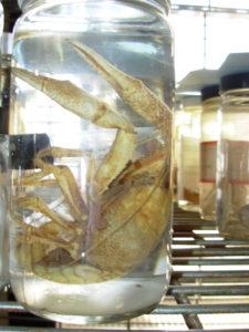 Crayfish specimen