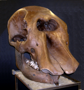 Giant Beaver Skull