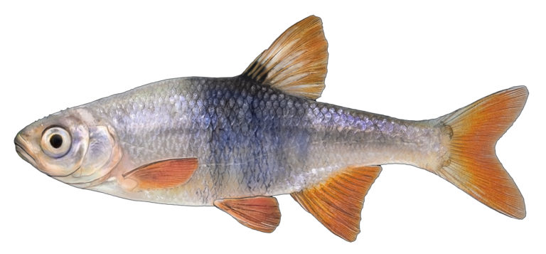 redfin shiner